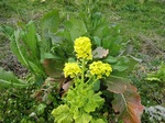 C20090318菜の花.JPG