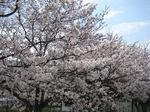 C20090403桜1.JPG