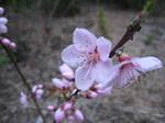 C20100414桃の花2.JPG