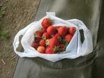C20130603苺収穫.jpg