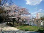 G20120406.京橋川の桜.jpg